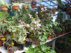 les begonias du jardin exotique de Cosy Home